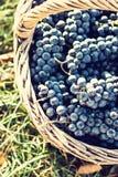Uva scura in un canestro Raccolta di uva immagini stock