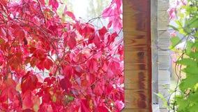 Uva selvaggia in autunno al sole stock footage