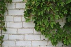 Uva selvaggia sul mattone Fotografia Stock