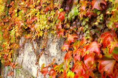 Uva selvaggia sulla parete Fotografia Stock Libera da Diritti