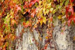 Uva selvaggia sulla parete Immagine Stock Libera da Diritti