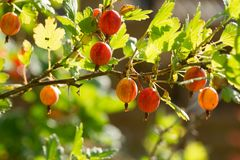 Uva spina fresche e mature su un ramo Fotografia Stock Libera da Diritti