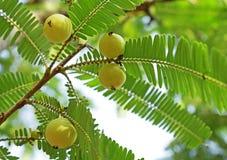 Uva spina indiana, Phyllanthus Emblica Fotografie Stock