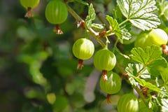 Uva spina matura nel sole di estate Uva spina verde nel giardino Immagine Stock Libera da Diritti