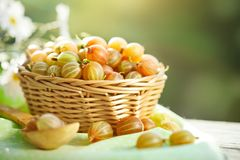 Uva spina matura su una tavola di legno nel giardino di estate Natura morta di estate del raccolto Fotografia Stock