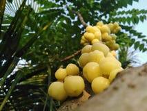 Uva spina nel giardino fotografia stock libera da diritti
