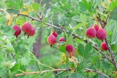 Uva spina rossa matura sul ramo al giardino di estate immagine stock libera da diritti