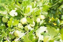 Uva spina su un ramo Immagine Stock