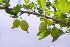 Uva spina verdi fresche su un ramo del cespuglio di uva spina con luce solare fotografia stock