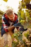 Uva sulla vigna di autunno della famiglia - lavoratore che seleziona l'uva nera Immagini Stock Libere da Diritti
