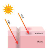 UVA- und UVB-Strahlung dringen in die Haut ein vektor abbildung