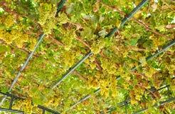 Uva verde Foto de Stock Royalty Free