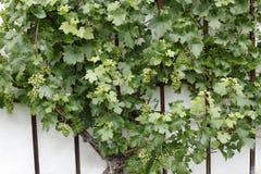 Uva verde con las hojas verdes Imagenes de archivo