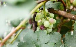 Uva verde da sopra la vista Fotografie Stock