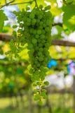 Uva verde de maduración Foto de archivo