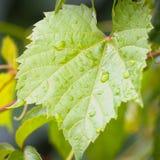 Uva verde e gotas da água Imagem de Stock Royalty Free