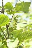 Uva verde en el viñedo Imagen de archivo libre de regalías