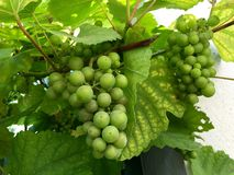 Uva verde fresca nel giardino Fotografia Stock