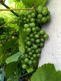 Uva verde fresca nel giardino Fotografie Stock