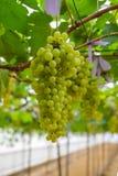 Uva verde fresca in vigna Fotografia Stock