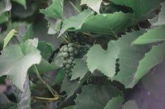 Uva verde na refeição matinal fotos de stock