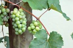 Uva verde nella vigna Fotografia Stock