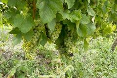 Uva verde no ramo Imagem de Stock Royalty Free