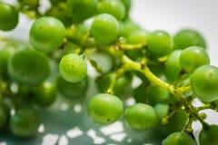 Uva verde non matura Fotografia Stock
