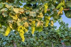 Uva verde pronta a selezionare sulla vite Fotografia Stock
