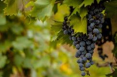 Uva vermelha em um vinhedo ensolarado Imagens de Stock Royalty Free