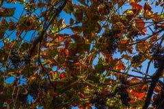 A uva vermelha folheia na adega em Jerez a Andaluzia Foto de Stock
