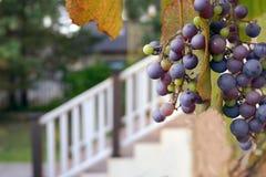Uva vermelha na manhã Imagem de Stock Royalty Free