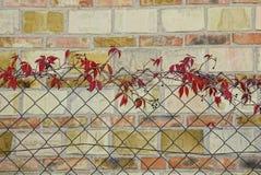 A uva vermelha sae em uma cerca da grade do ferro perto de uma parede de tijolo Fotografia de Stock