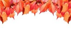 A uva vermelha sae no fundo branco isolado perto acima, beira decorativa da folha dourada do outono, quadro dos ramos do bordo do imagem de stock