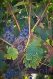 Uva vibrante del vino rosso Immagine Stock