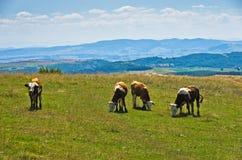 在草甸的母牛,在河Uvac峡谷附近的风景在晴朗的夏天早晨 库存图片