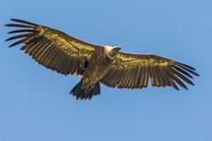 Griffon vulture flying Royalty Free Stock Images