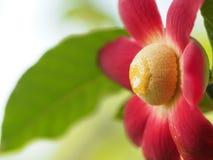 Uvaria大花的花开花 免版税库存图片