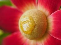 Uvaria大花的花开花 库存照片
