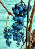 Uvas Foto de Stock Royalty Free