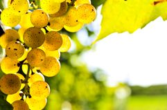 Uvas amarelas foto de stock