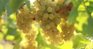 Uvas amarelas maduras em um vinhedo em um dia ensolarado filme