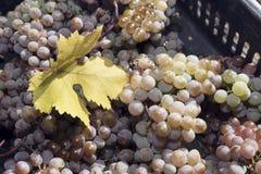 Uvas Amber Harvest Crate Leaf foto de stock royalty free