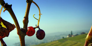 Uvas após a colheita Foto de Stock
