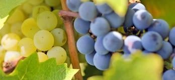 Uvas azuis e amarelas no vinhedo Fotografia de Stock