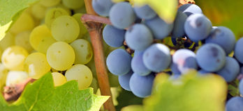 Uvas azuis e amarelas no vinhedo Fotos de Stock