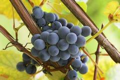 Uvas azuis em um vinhedo no por do sol Fotografia de Stock Royalty Free