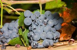 Uvas azuis que penduram de uma videira Imagem de Stock