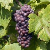 Uvas azules en el último otoño Fotos de archivo libres de regalías