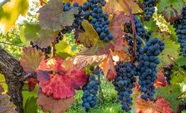 Uvas azules en la acción otoñal de la vid Imagen de archivo libre de regalías